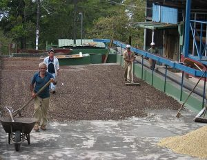 Traditional coffee drying at the Alto Boquete plant of Cafe Ruiz, Boquete, Panamá. Photograph taken by Dirk van der Made, and licenced under a This file is licensed under the Creative Commons Attribution-Share Alike 3.0 Unported license.